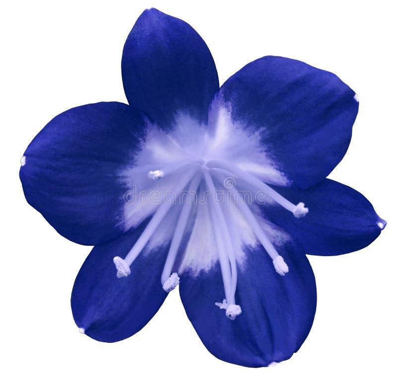 Flor azul do lírio, isolada com trajeto de grampeamento, em um fundo branco luz - pistilos azuis, estames centro Luz-azul Para o  imagem de stock