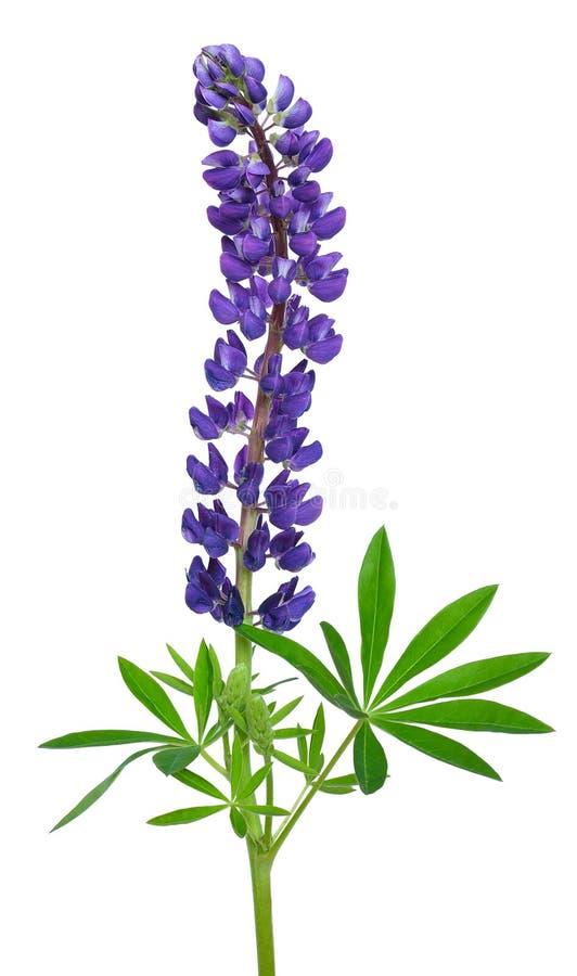 Flor azul do lupinus imagem de stock