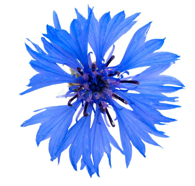 Flor azul do milho fotografia de stock royalty free