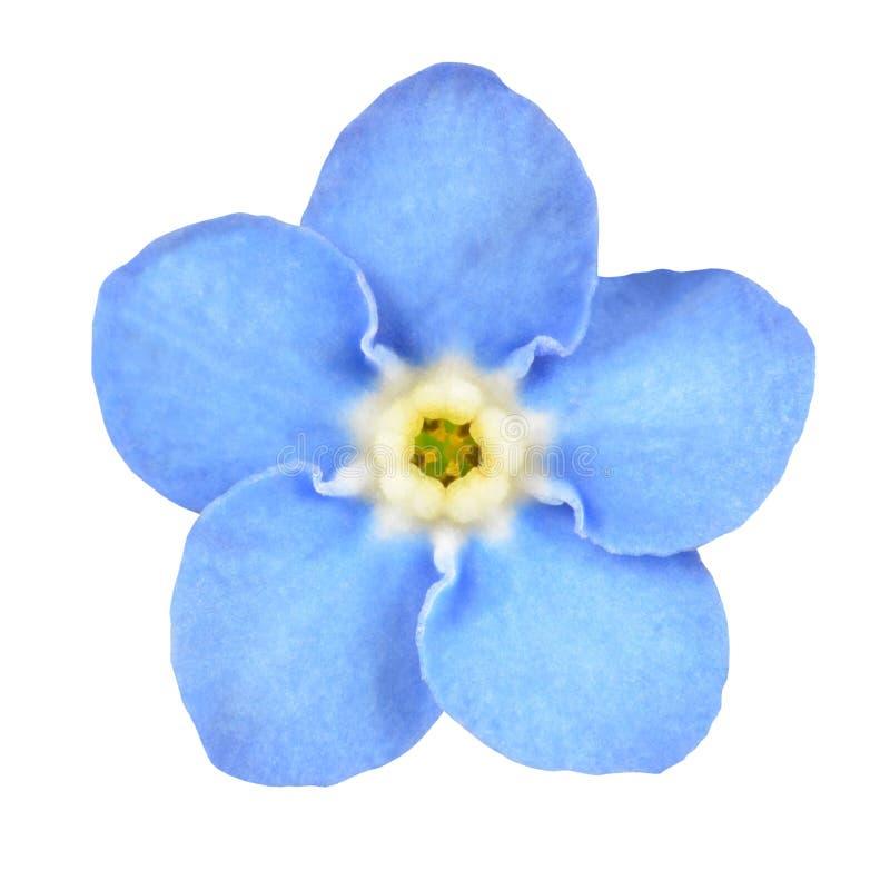Flor azul do miosótis isolada no branco imagens de stock