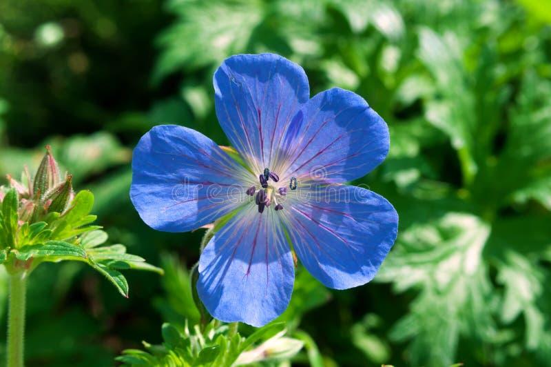Flor azul do pratense do gerânio no jardim fotografia de stock