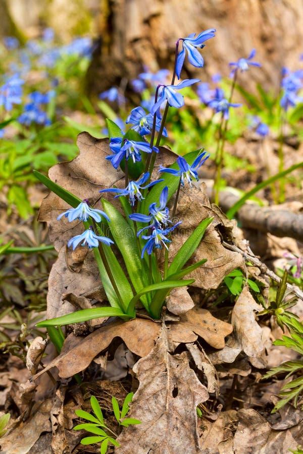 A flor azul do snowdrop floresce na primavera o Squill do siberica de Scilla da floresta fotos de stock royalty free
