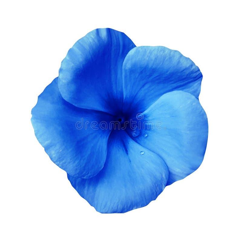 Flor azul en fondo blanco aislado con la trayectoria de recortes primer Violetas azules hermosas de la flor para el diseño imagenes de archivo