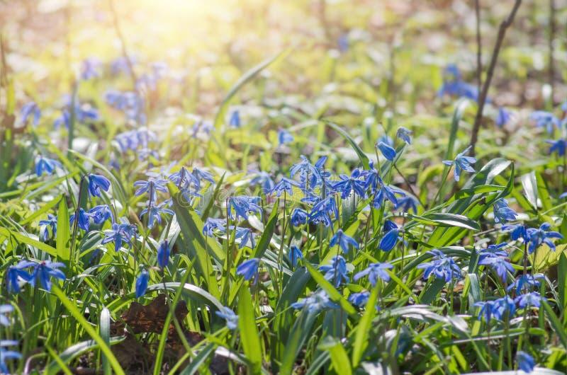 A flor azul floresce o snowdrop Scilla Squill da mola fotos de stock royalty free