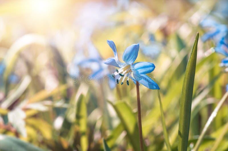 A flor azul floresce o snowdrop Scilla Squill da mola imagens de stock