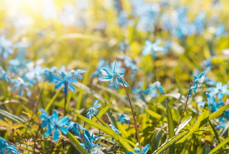 A flor azul floresce o snowdrop Scilla Squill da mola imagem de stock royalty free