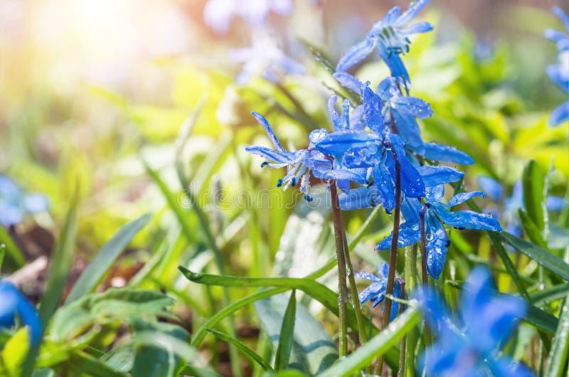 A flor azul floresce o snowdrop Scilla Squill da mola fotos de stock