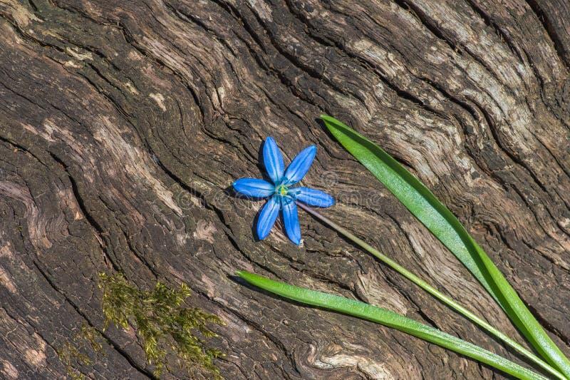 A flor azul floresce o snowdrop Scilla Squill da mola foto de stock royalty free
