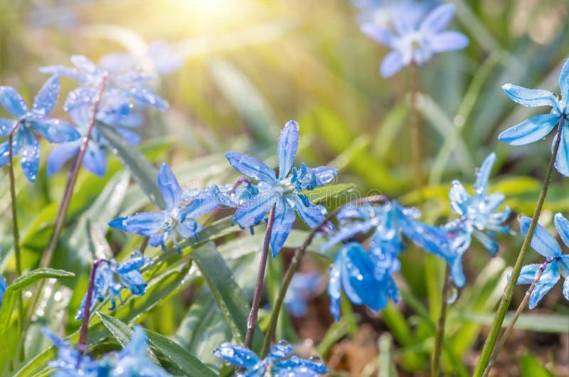 A flor azul floresce o snowdrop Scilla Squill da mola foto de stock