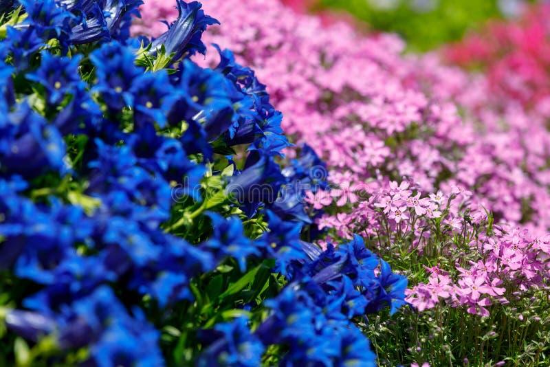 Flor azul gentiana da trombeta no jardim da mola fotografia de stock royalty free