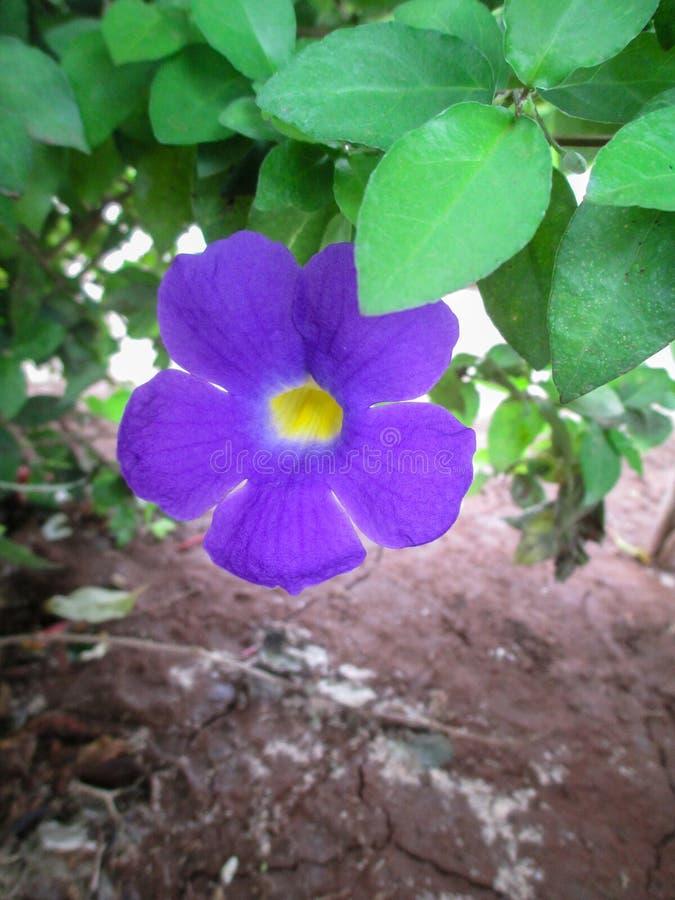 Flor azul hermosa fotografía de archivo libre de regalías