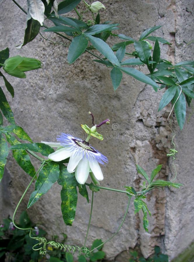 Flor azul hermosa de la fruta de la pasión imagen de archivo