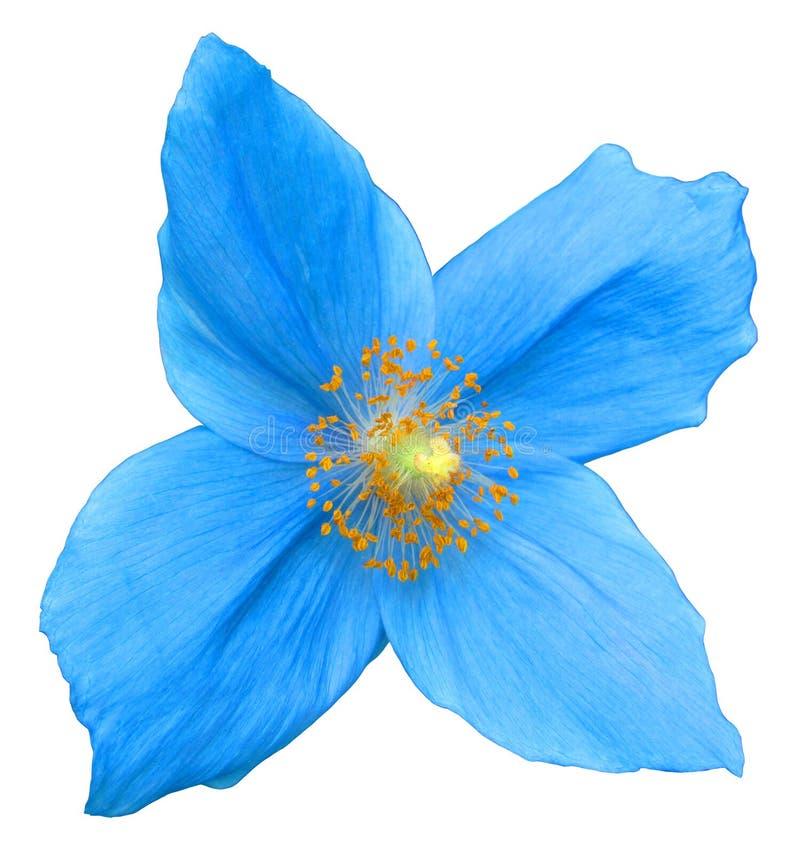 Flor azul isolada fotografia de stock royalty free