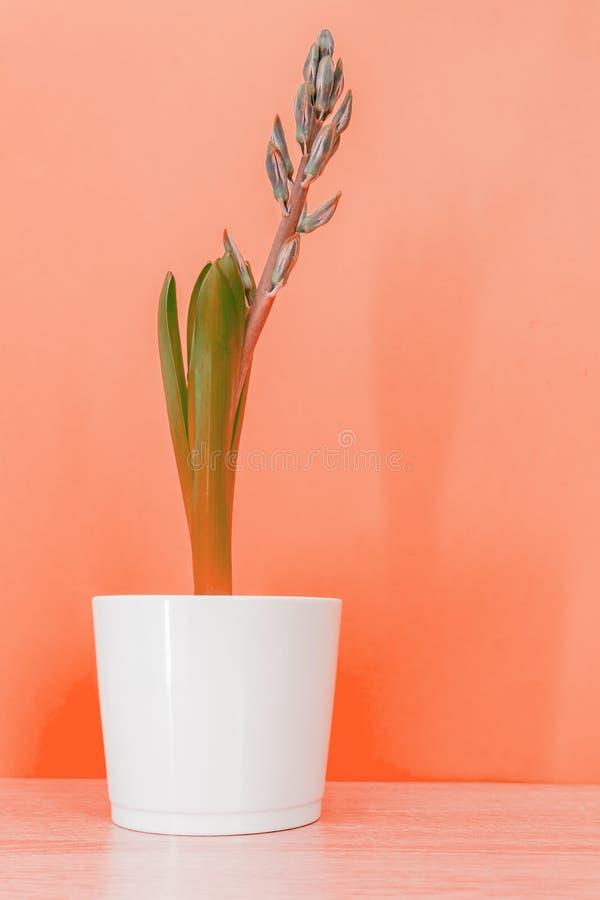 Flor azul jacinto cerrada con una maceta de cerámica blanca sobre fondo colorido Color de coral tónico con espacio Copy foto de archivo