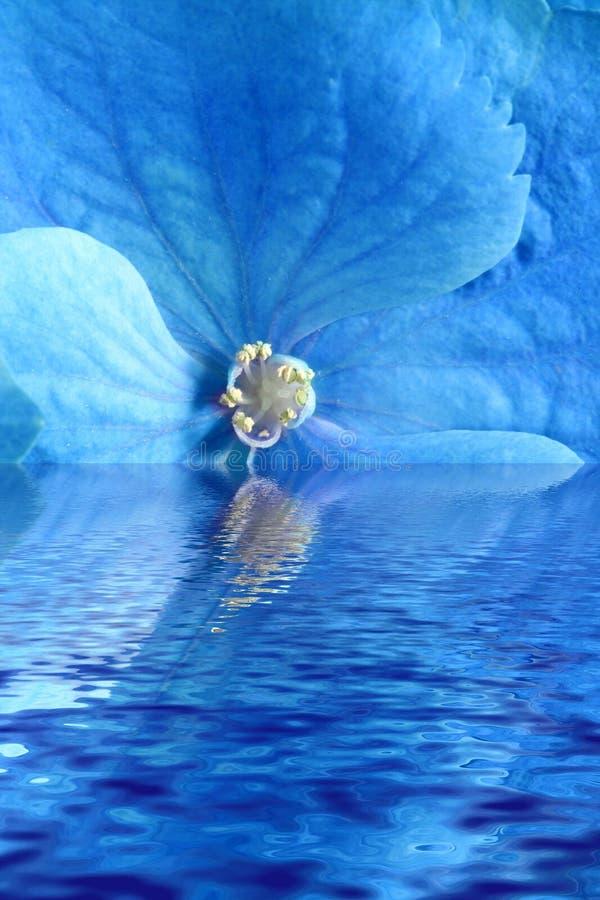Flor azul na água fotografia de stock royalty free