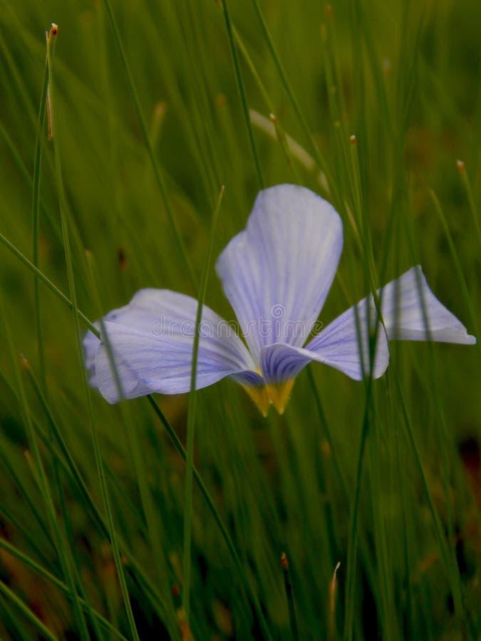 Flor azul no close-up da grama verde imagem de stock royalty free