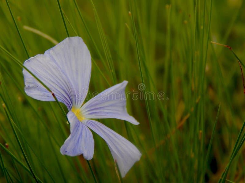 Flor azul no close-up da grama verde imagem de stock