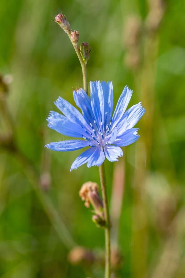 Flor azul no fundo natural Flor da endívia selvagem da chicória imagens de stock