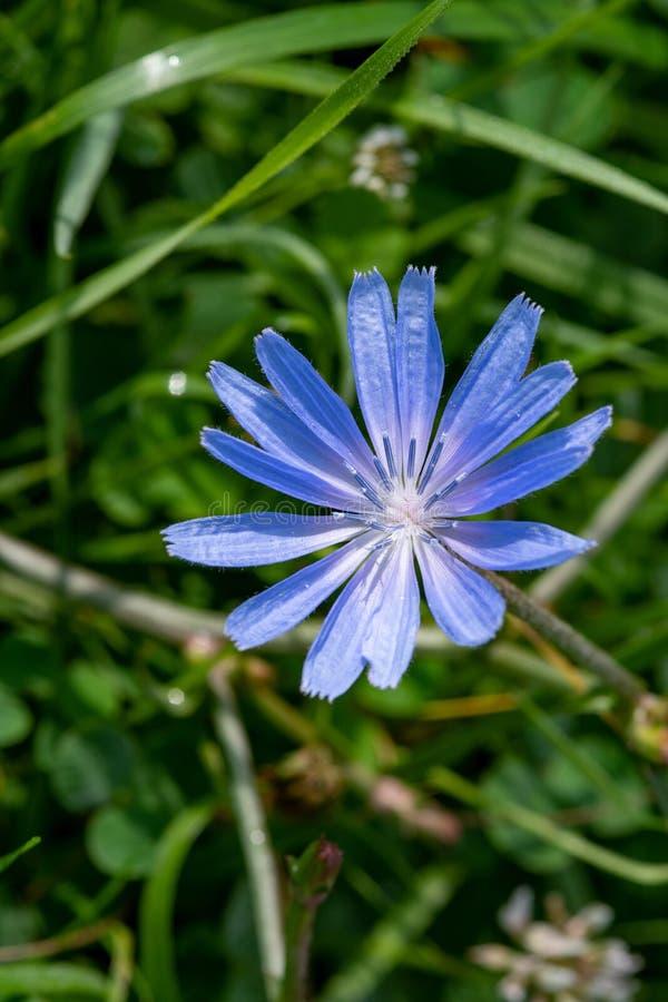 Flor azul no fundo natural Flor da endívia selvagem da chicória foto de stock