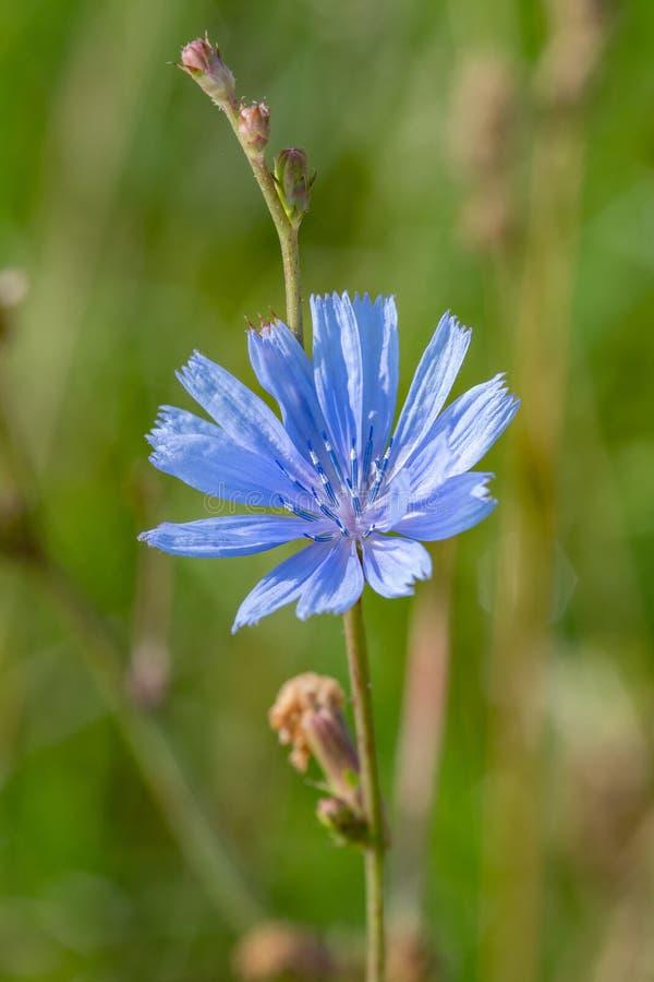 Flor azul no fundo natural Flor da endívia selvagem da chicória fotografia de stock