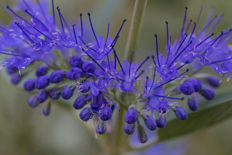 Flor azul, púrpura, clandonensis de Caryopteris, azul divino imagenes de archivo