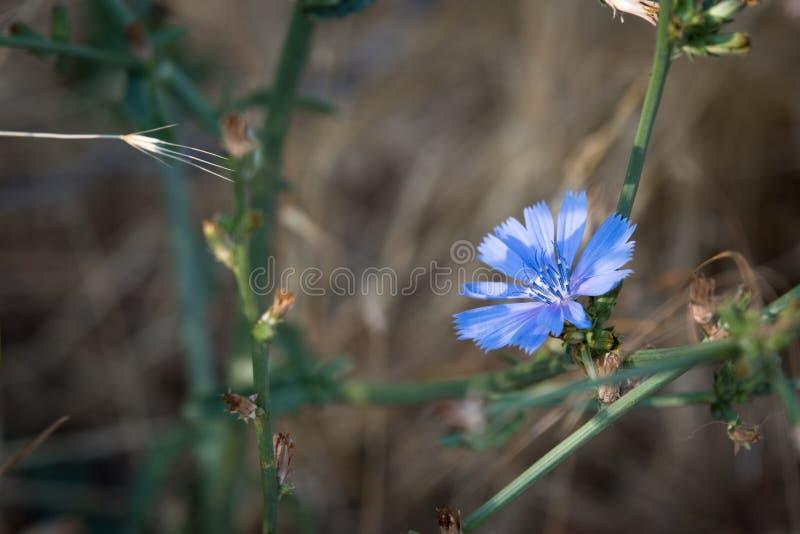 Flor azul selvagem da chicória fotografia de stock royalty free