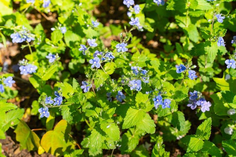 Flor azul Veronica Oakwood em um esclarecimento nas madeiras Fundo bonito fotografia de stock royalty free