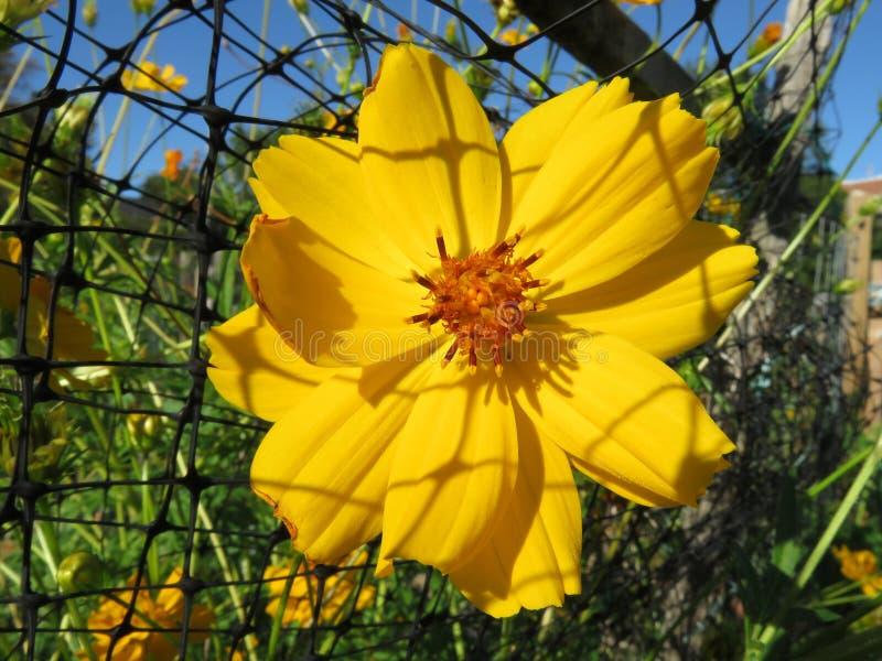 Flor bastante amarilla del cosmos fotografía de archivo