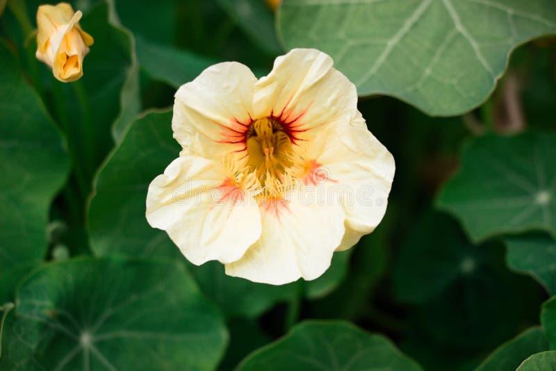 Flor beige hermosa imágenes de archivo libres de regalías
