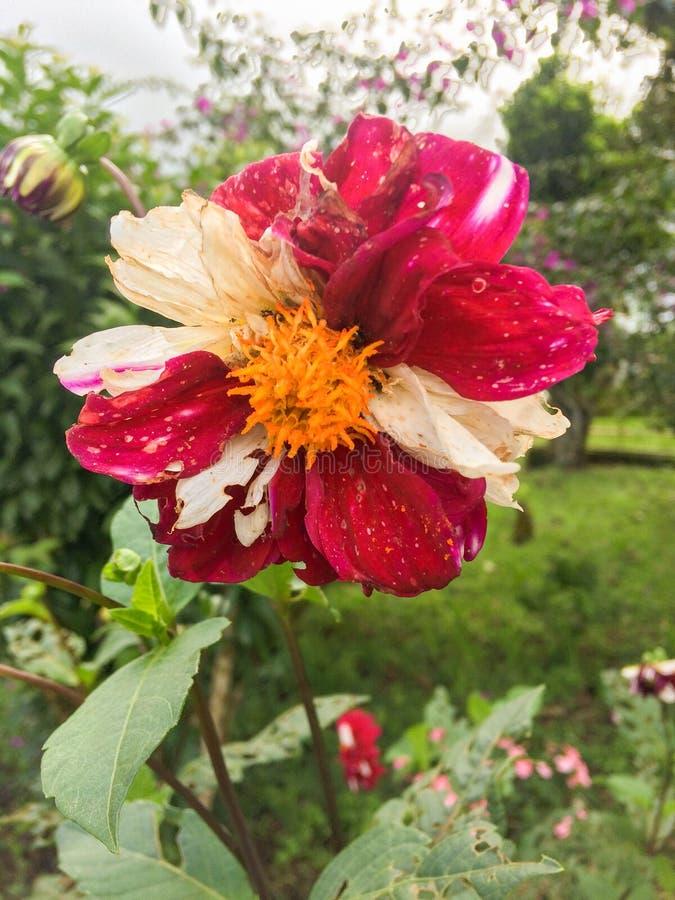 Flor Bi-Color fotos de stock royalty free