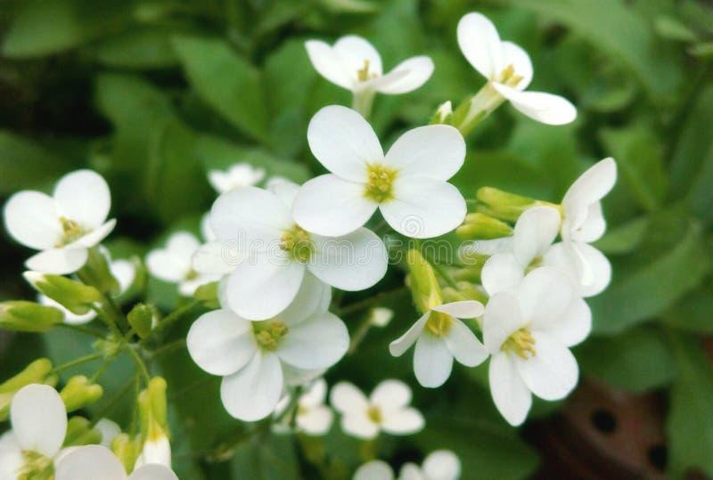 Flor blanca imagen de archivo libre de regalías