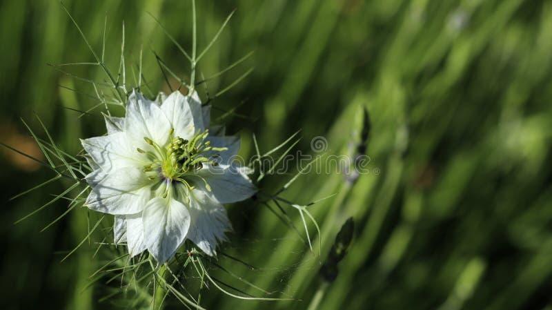Flor blanca con el fondo verde fotografía de archivo libre de regalías