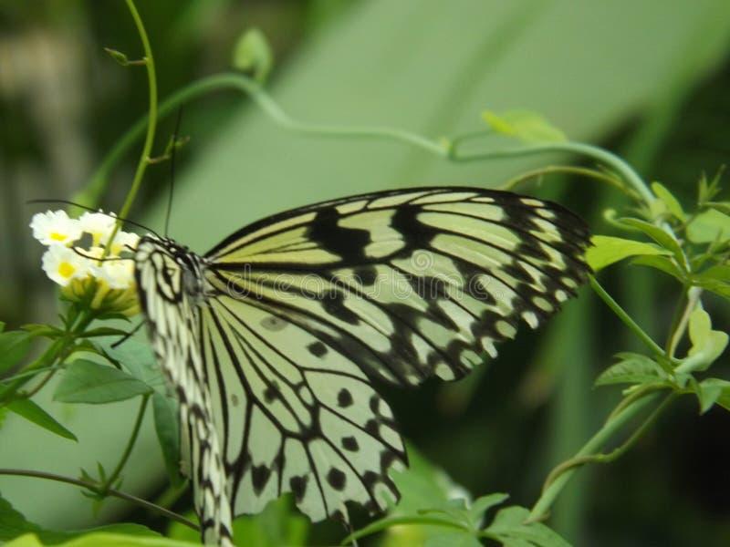 Flor blanca con la mariposa fotos de archivo