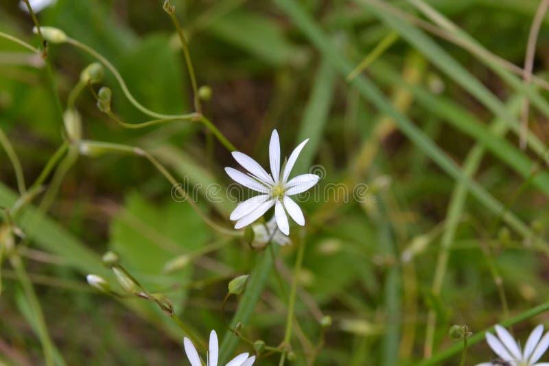 Flor blanca con los pétalos estrechos contra la perspectiva de la hierba verde fotografía de archivo