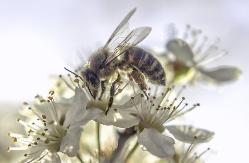 Flor blanca de la abeja imagen de archivo