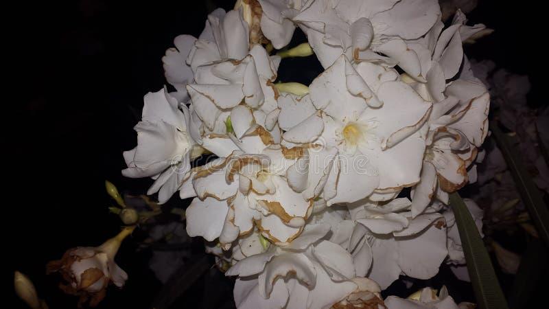 Flor blanca de la belleza fotografía de archivo libre de regalías