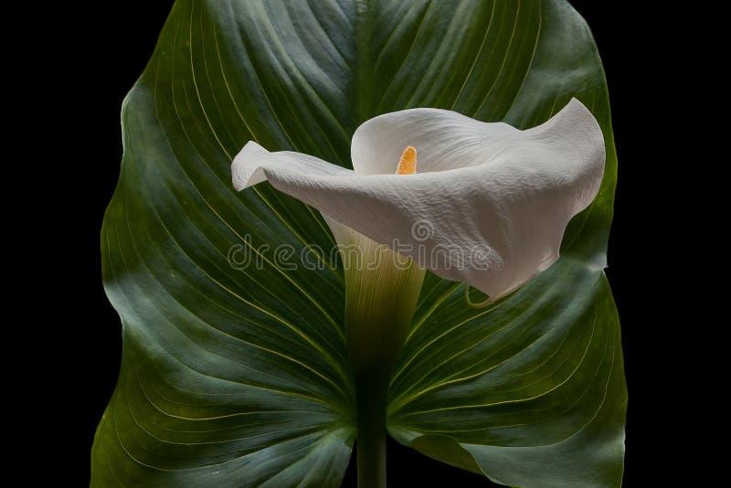 Flor blanca de la cala con una hoja verde grande foto de archivo
