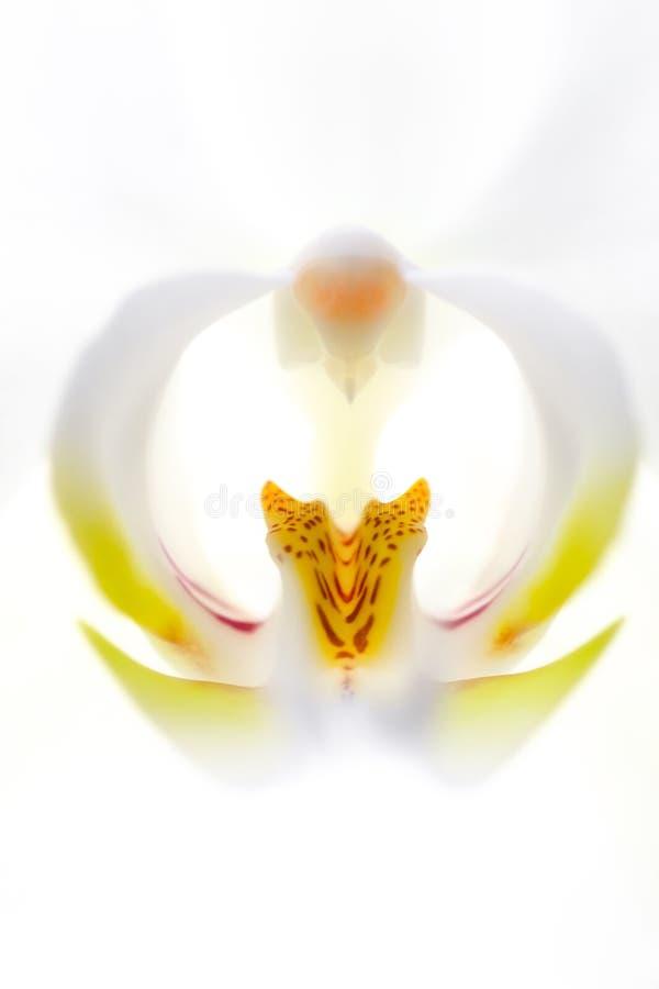 Flor blanca de la floración de la orquídea flor exótico del houseplant decorativo u ornamento para el diseño imágenes de archivo libres de regalías