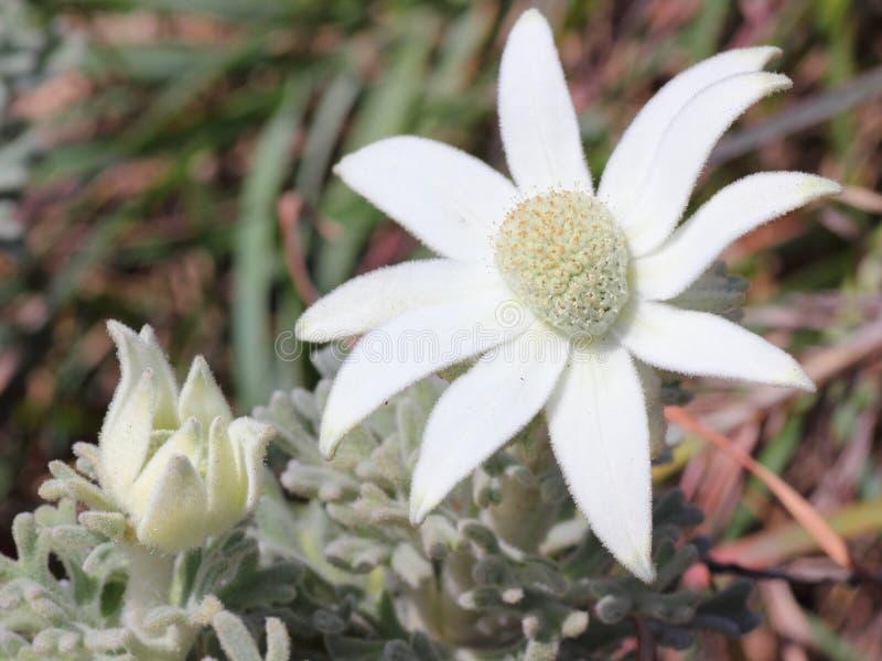 Flor blanca de la franela fotos de archivo