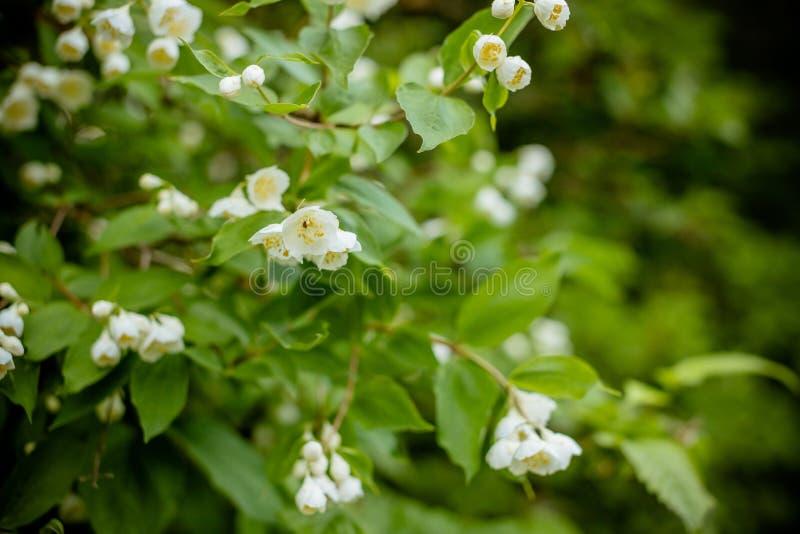 Flor blanca de la madera satinada de Andaman, árbol de la caja de Chanese, árbol de corteza cosmético, jazmín anaranjado, jessami fotografía de archivo