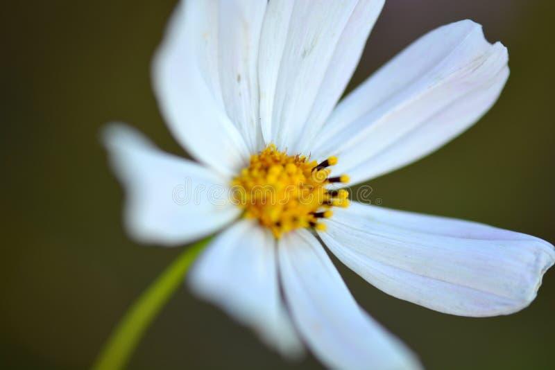 Flor blanca de la manzanilla macra imagen de archivo libre de regalías
