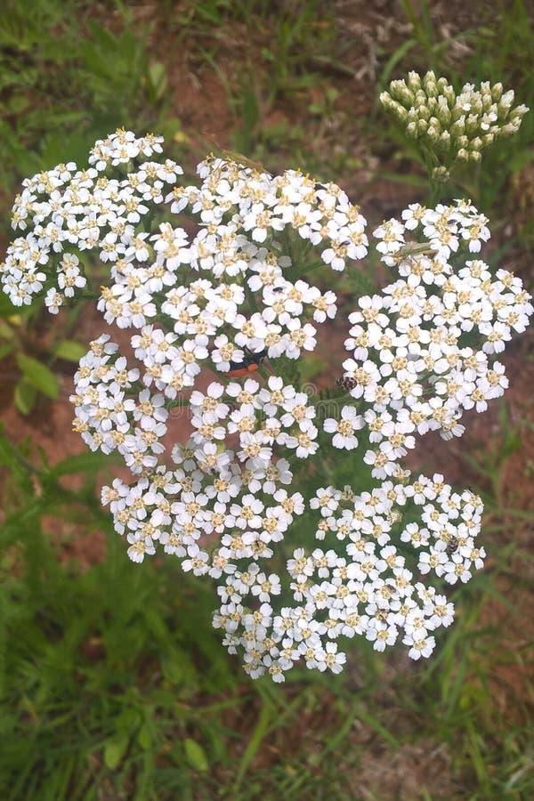 Flor blanca de la milenrama imagenes de archivo