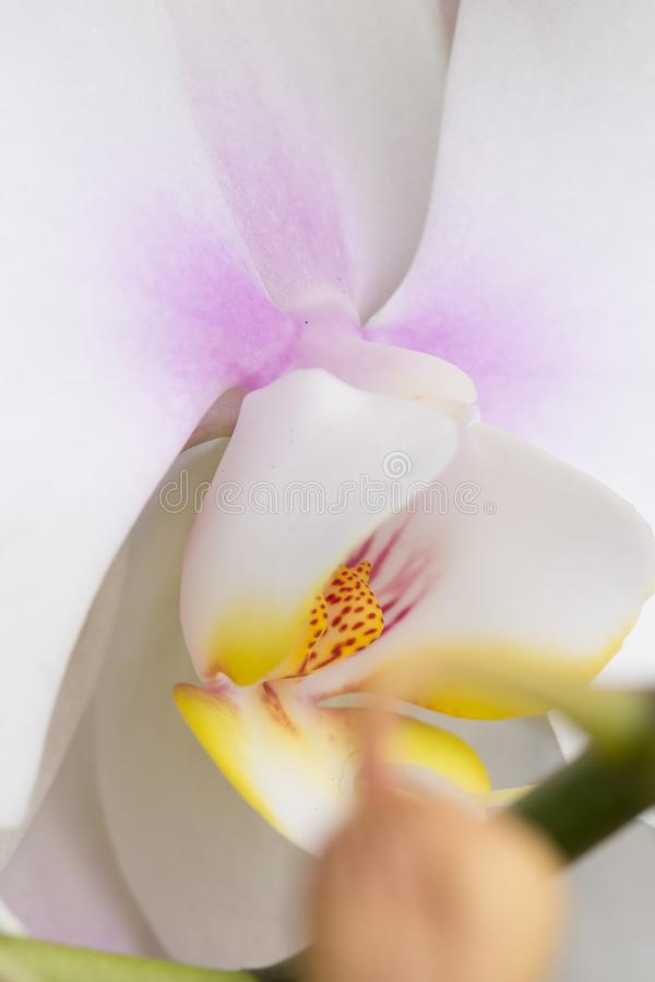 Flor blanca de la orquídea en todavía macro de la floración imagenes de archivo