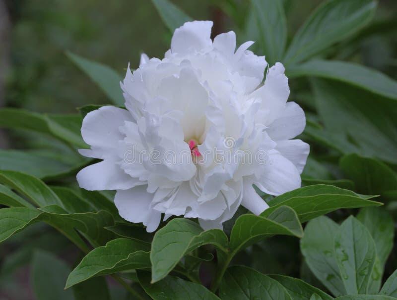 Flor blanca de la peonía fotos de archivo libres de regalías