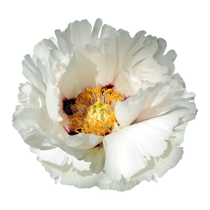 Flor blanca de la peonía fotos de archivo