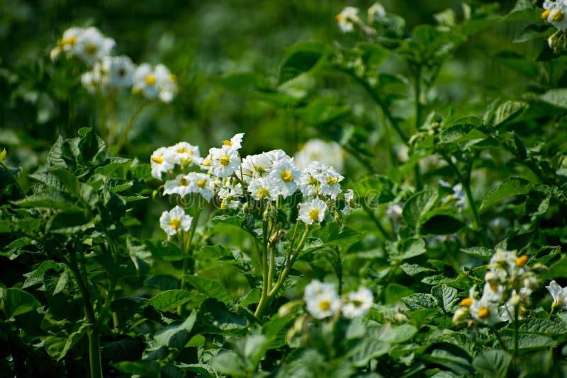 Flor blanca de la planta de patata Arbustos de la patata con el primer floreciente Flores de la patata en el jardín imágenes de archivo libres de regalías