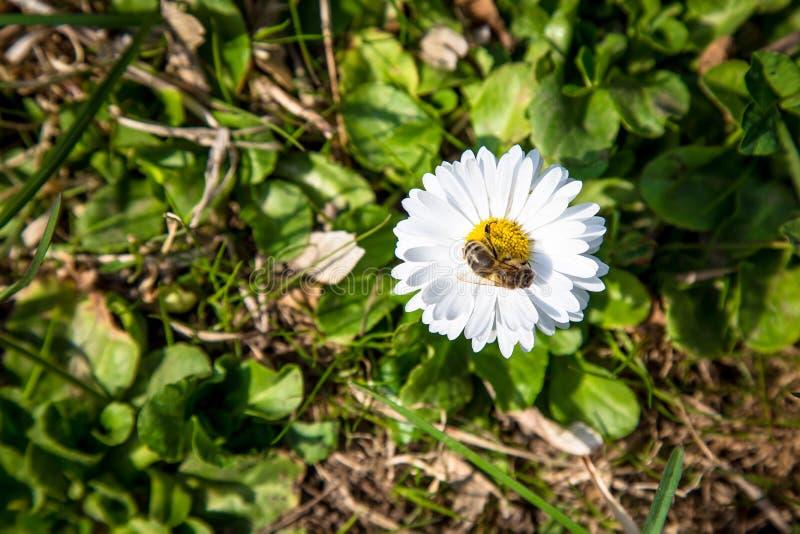 Flor blanca de la primavera hermosa misma stock de ilustración