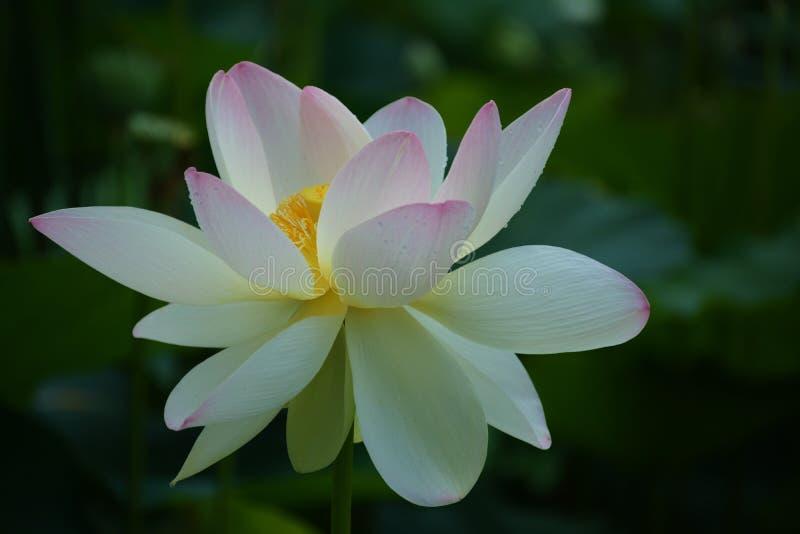 Flor blanca de Lotus imagen de archivo libre de regalías