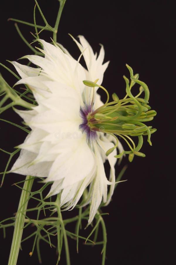 Flor blanca de Nigella imagen de archivo