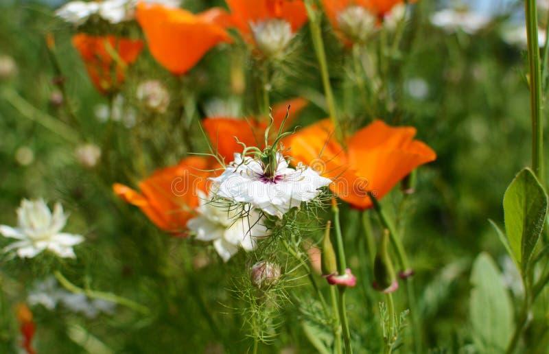 Flor blanca de Nigella fotos de archivo